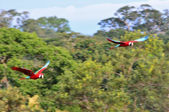 Posada Amazonas : a pair of Macaws doing a fly by