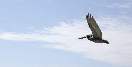 Ruthless Roatan Charters: Pelican fly over
