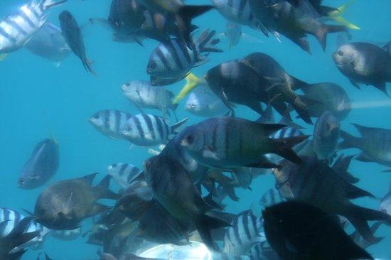 Cruise Whitsundays: Fish seen from barge window