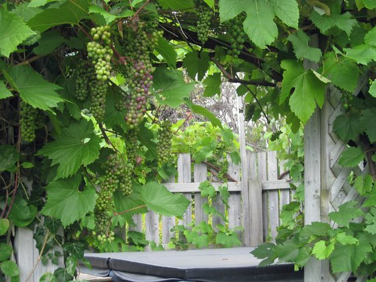 Seascape Coastal Retreat : grape vines surround the outdoor hot tub