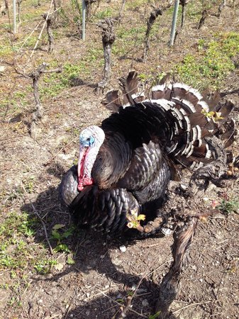Le Petit Vigneau : The turkey guarding the vines!