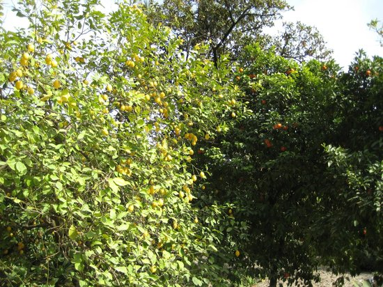 Real Alcazar: цитрусовые в садах