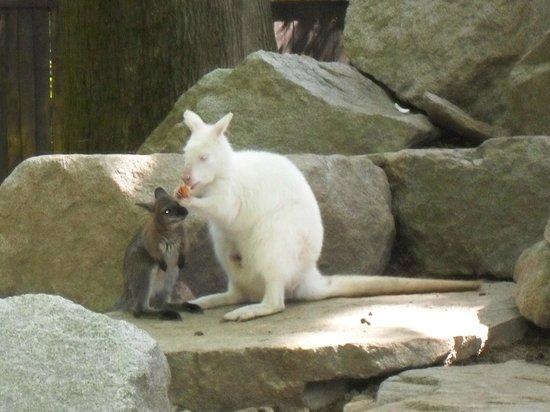 Parco Faunistico La Torbiera: canguro albino