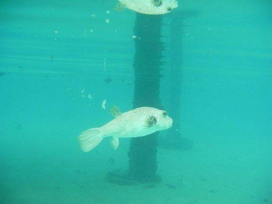 Le Taha'a Island Resort & Spa: puffer fish