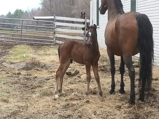 UVM Morgan Horse Farm: Colts just born