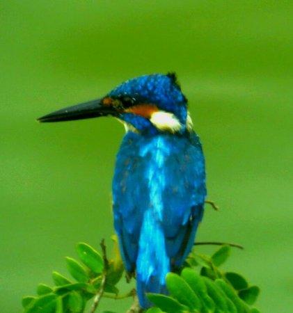 Cinnamon Wild Yala: kingfisher by the lake