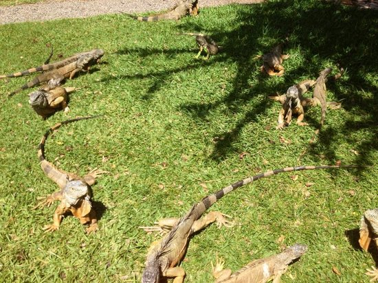 Royal Decameron Complex: Iguanas!!