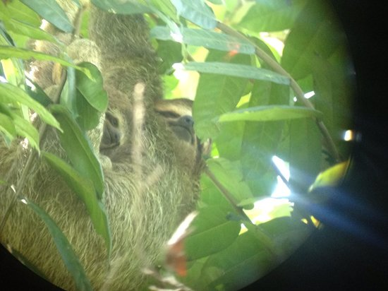 Drake Bay Wilderness Resort : Sloths at San Pedrillo