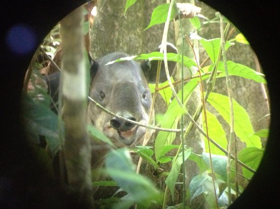 Drake Bay Wilderness Resort : Tapir at San Pedrillo
