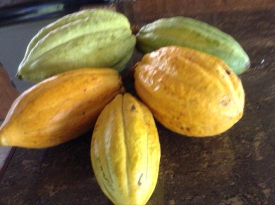 IXCACAO Maya Belizean Chocolate: cacao pods....