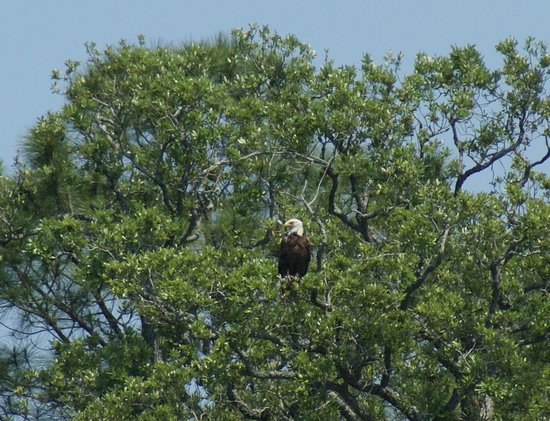 Live Oac Outdoor Adventure Company : Bald eagle