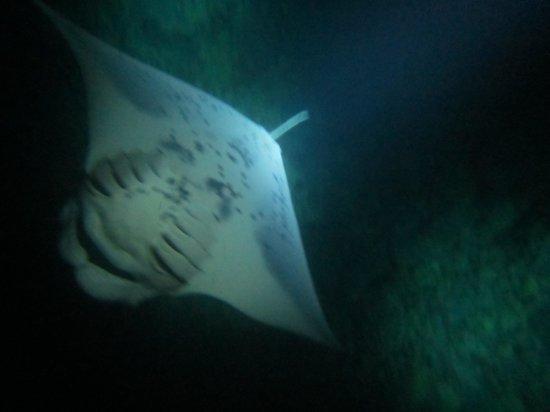 Manta Ray Dives of Hawaii : bottom view of manta ray