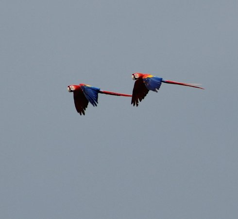 Go Tours Costa Rica - Day Tours: Scarlet Macaws