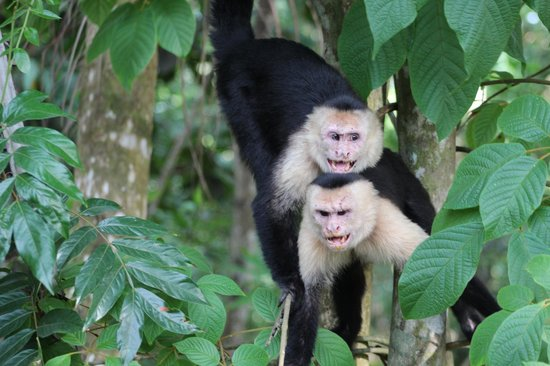 Go Tours Costa Rica - Day Tours: White faced Monkeys in Manual Antonio