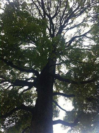 Egaraten Shrine: TALL GINGKO TREE !