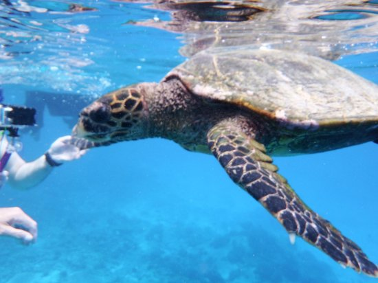 Paradise Sun : Swimming with turtles on snorkeling trip with Sagittarius from Anse Volbert