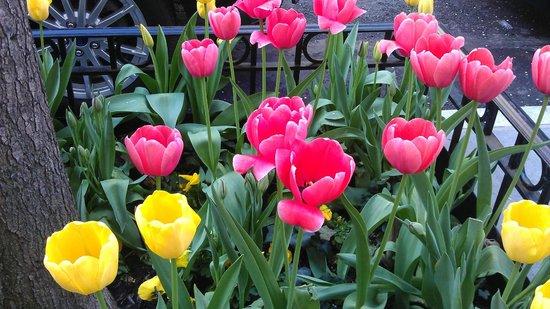 Upper East Side: Tulips!