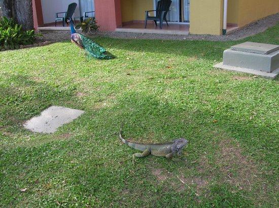 Royal Decameron Beach Resort, Golf & Casino : Iguana y pavo real en los jardines