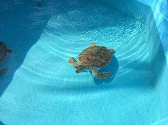 Sea Turtle Hatchery: bebe tortue