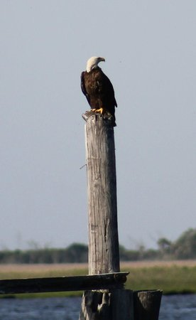 Rover Boat Tours - Carolina Rover: Eagle on a post