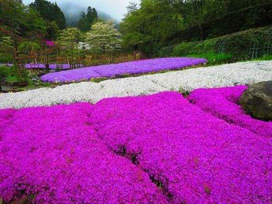 Takidani Hanashobu Garden: 芝桜