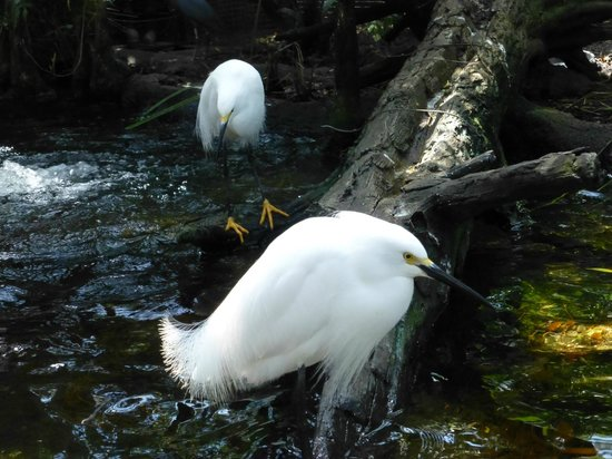The Florida Aquarium: Snowy Egrets