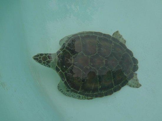 Xcaret Eco Theme Park: ...вот такенная черепаха...