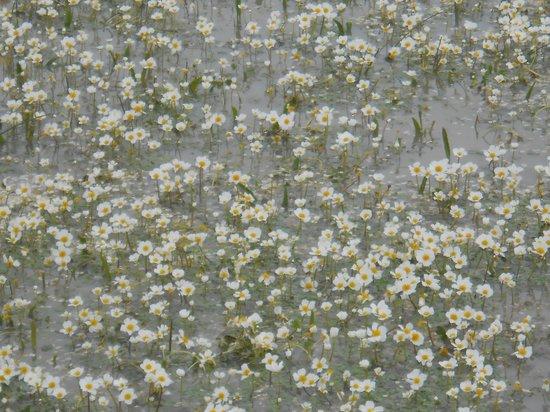 Parco della Giara Tuili: ranuncoli acquatici