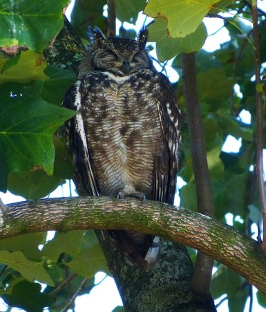 Chase Guest House: An eagle owl in the garden - amazing.