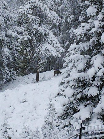Hidden Ridge Resort : morning deer