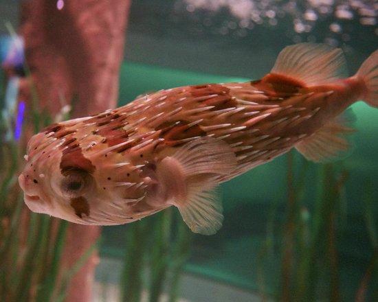 National Mississippi River Museum & Aquarium: Porcupine fish