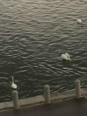Hilton Vienna Danube Waterfront: Cisnes que vivem no danubio