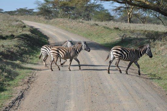 Kenya Incentive Tours & Safaris - Day Tours: Zebra Crossing