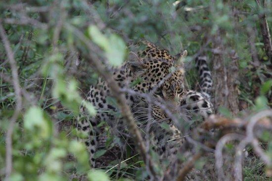 Siyafunda Conservation: Female leopard