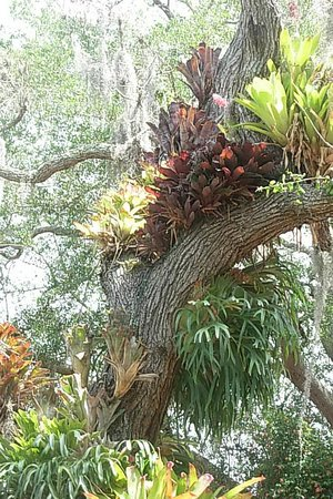 Marie Selby Botanical Gardens: Interesting variety on this tree