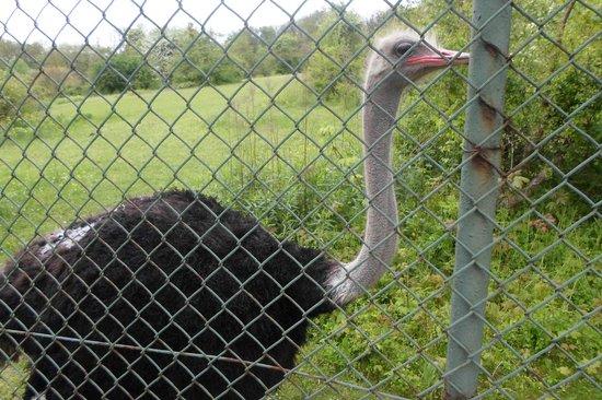 Stare Zoo Poznan : Ostrich