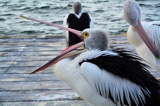 Pelican Feeding: Hungry....