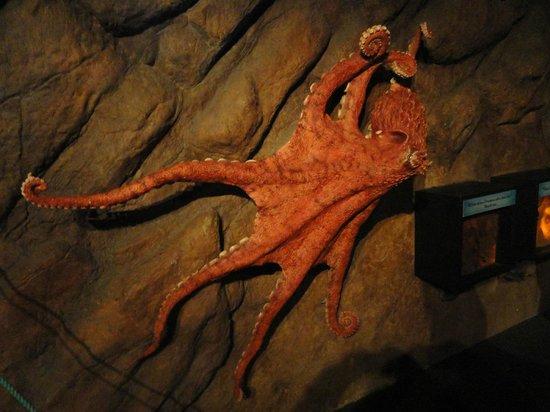 Aquarium of the Bay: octupus