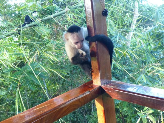 La Paloma Lodge: Yippee...the Capuchins are here!!