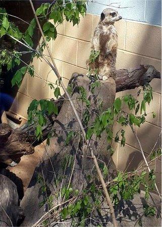 Zoo Atlanta : Meerkat Atlanta Zoo