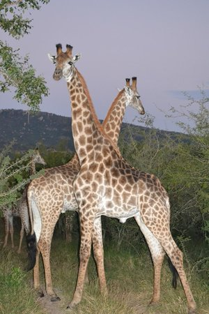 Bongani Mountain Lodge : Game Drive