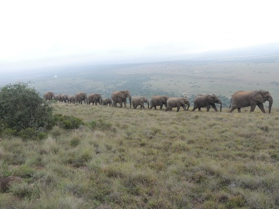 Amakhala Game Reserve: marching in a line - spectacular