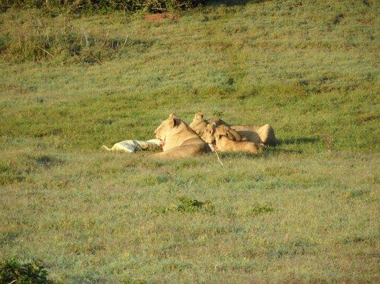 Schotia Safaris Private Game Reserve: Leeuwen hebben een krokodil gevangen