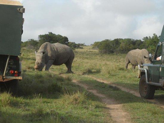 Schotia Safaris Private Game Reserve: Deze neushoorns zijn dichtbij genoeg.