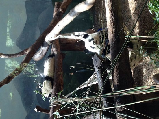 Zoo Atlanta : Pandas