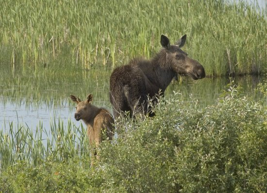 """Romantic Riversong Bed and Breakfast Inn: The """" Moose are loose """" in Estes Valley"""