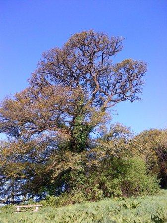 Old Oak Barn: Old Oak Tree