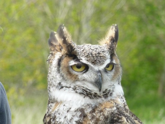 S&D Falconry: Long eared owl
