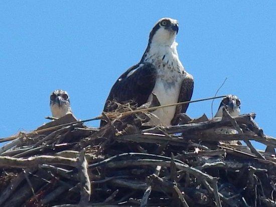 Island Boat Adventures : Osprey nest