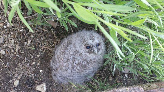 Tenuta Lonciano : Owl chick right behind the house